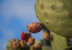 Eine Kaktusfrucht auf einem Kaktusblatt in der Wildnis von Malta-Insel stockbilder