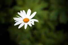 Eine Kamille in der Natur Lizenzfreie Stockfotografie