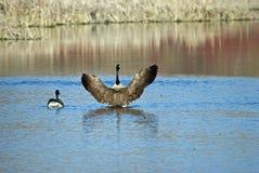Eine kanadische Gans, die seine Flügel verbreitet Stockfotos