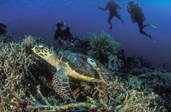 Eine Karettschildkröte, die friedlich hinter einer Gruppe Tauchern gleitet stockbilder
