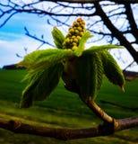 Eine Kastanienblüte stockfoto
