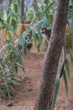 Eine Katta sitzt auf einem Baum und schaut herum Stockbilder