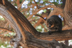Eine Katta sitzt auf einem Baum und schaut herum Lizenzfreies Stockbild
