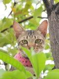 Eine Katze der Anstarrengetigerten katze Stockfotos