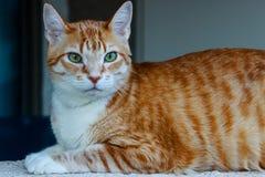 Eine Katze der getigerten Katze Lizenzfreies Stockbild
