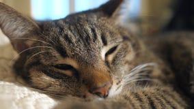 Eine Katze, die auf dem Sofa liegt stock footage
