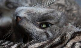 Eine Katze, die herum gerade schauen in Kamera faulenzt Lizenzfreies Stockbild