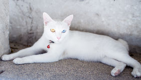Eine Katze, die zwei verschiedene Farbaugen hat Stockfotografie