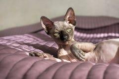 1, eine Katze, kanadisches Lügen Sphynx-Zucht auf dem Bett stockbilder