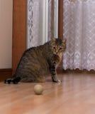 Eine Katze mit einem Ball Lizenzfreies Stockfoto