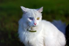 Eine Katze mit komplettem Heterochromia Stockfoto