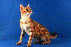 Eine Katze von Bengal-Zucht auf einem blauen Hintergrund Stockfoto