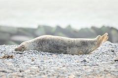 Eine Kegelrobbe liegt auf dem Strand auf Helgoland stockfotografie