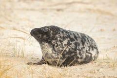 Eine Kegelrobbe liegt auf dem Strand auf Helgoland stockfoto