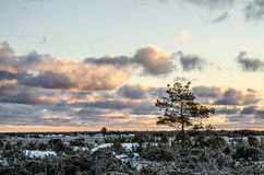 Kiefer am Sonnenaufgang lizenzfreie stockfotos