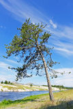 Eine Kiefer traut sich, von der ganzer Vegetation unterschiedlich zu sein, die Einfassungen es Stockfotografie