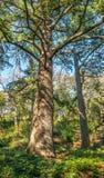 Eine Kiefer traut sich, von der ganzer Vegetation unterschiedlich zu sein, die Einfassungen es lizenzfreies stockbild