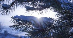 Eine Kiefernniederlassung umfasst mit flaumigem Schnee Stockfotografie