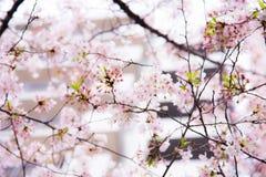 Eine Kirschblütenblüte und -trübsinn in Japan Kirschblüte ist Al so das Symbol des japanischen Frühlinges lizenzfreies stockbild