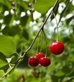 Eine Kirsche, die auf einem Baum wächst Lizenzfreie Stockfotografie