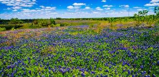 Eine klare große schöne bunte panoramische hohe Weitwinkelansicht Def von Texas Field Blanketed mit berühmten Texas Bluebonnets. Stockbilder