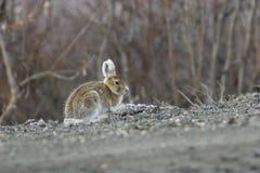 Eine klassische Haltung des Kaninchens Stockfotografie