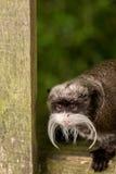 Eine kleine Baby Kapuzineraffe, die seinen Kopf durch den Zaun haftet Stockfotos