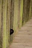 Eine kleine Baby Kapuzineraffe, die seinen Kopf durch den Zaun haftet Lizenzfreie Stockbilder