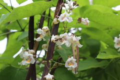 Eine kleine Biene sammelt Nektar auf weißen Blumen Stockfotografie