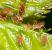 Eine kleine Blattlaus auf einer Grünpflanze Stockbild