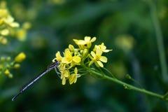 Eine kleine blaue Libelle sitzt auf dem Blütenstand von hellen gelben Blumen stockbilder