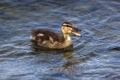 Eine kleine Ente mit einem offenen Schnabel im blauen See stockfotografie
