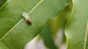 Eine kleine fliegende Ameise, die auf einem Blatt von indischen Wäldern sitzt stockbild
