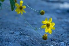Eine kleine gelbe Blume, die oben gegenüberstellt Stockfotos