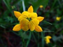 Eine kleine gelbe Feldblume auf einem dünnen Stiel lizenzfreie stockfotografie