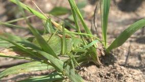 Eine kleine grüne Heuschrecke ist auf einem Grashalm stock video