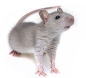 Eine kleine graue Ratte Lizenzfreie Stockfotos