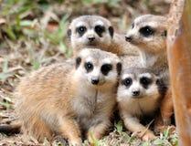 Eine kleine Gruppe des afrikanischen Mungos Stockbild