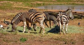 Eine kleine Herde des Schwarzweiss-Zebras stockbilder