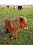 Die Shetlandinseln-Ponyfeld (Equus ferus caballus) Lizenzfreie Stockfotografie