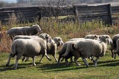 Eine kleine Herde von Schafen lizenzfreie stockfotografie