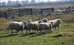 Eine kleine Herde von Schafen lizenzfreies stockfoto