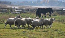 Eine kleine Herde von Schafen lizenzfreies stockbild