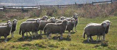 Eine kleine Herde von Schafen lizenzfreie stockbilder