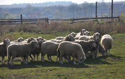 Eine kleine Herde von Schafen stockfotos