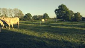 Eine kleine Herde von weißen Kühen, Stiere und Kälber in a lassen, Ende des Nachmittages an der goldenen Stunde weiden Timelapse  stock video