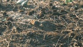 Eine kleine Krabbe gräbt eine Grube stock video footage