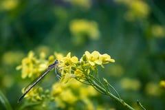 Eine kleine Libelle sitzt auf dem Blütenstand von hellen gelben Blumen lizenzfreie stockbilder