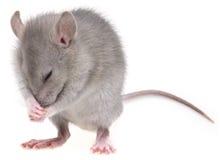 Eine kleine Maus Lizenzfreies Stockfoto