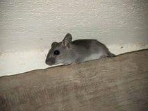 Eine kleine Maus Lizenzfreies Stockbild
